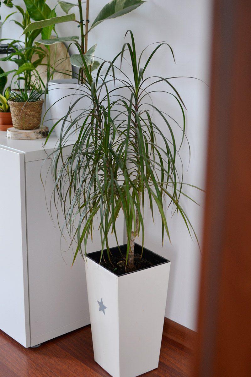 Dracena obrzeżona roślina doniczkowa mało wymagająca