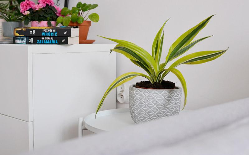 Do roślin doniczkowych mało wymagających można zaliczyć Dracenę deremeńską