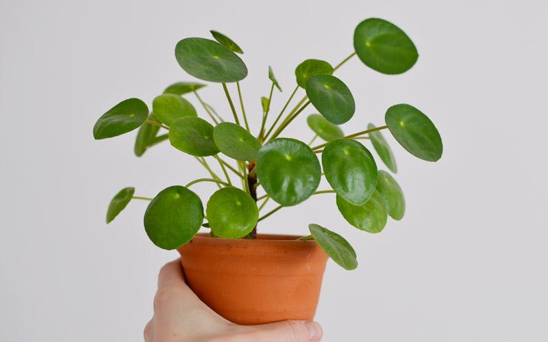 Pilea rośnie szybko i wytwarza sadzonki