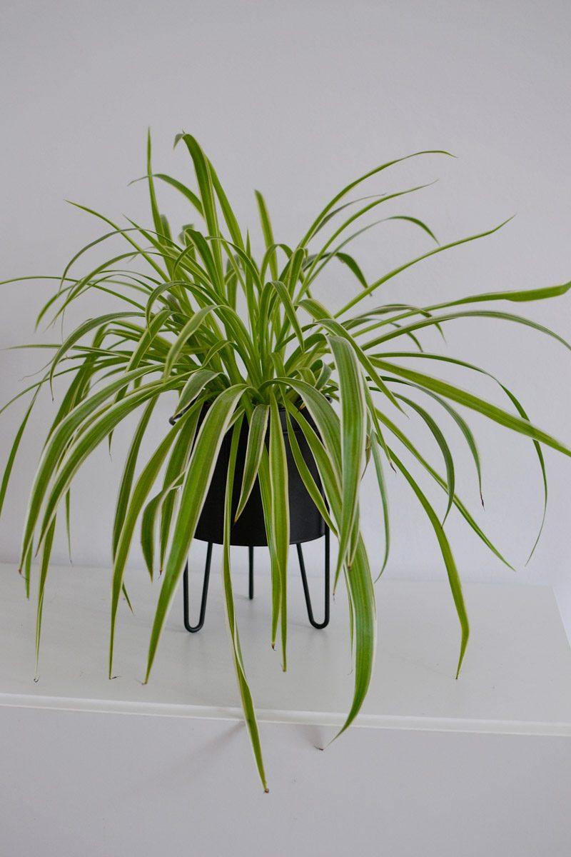 Zielistka roślina, która oczyszcza powietrze