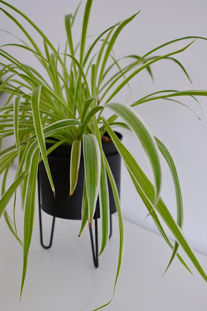Zielistka idealna roślina dla zapominalskich