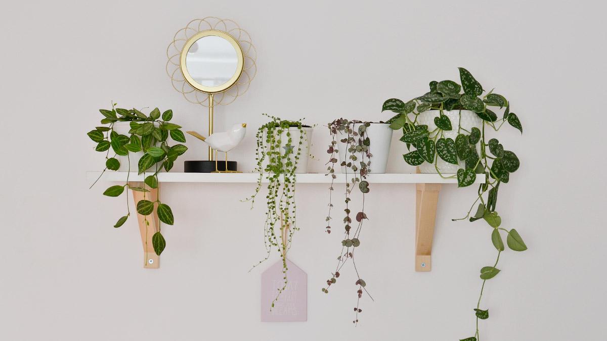 Rośliny doniczkowe zwisające - pnące rośliny w moim domu