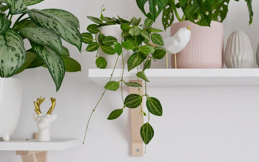 Dischidia ovata - roślina zwisająca w kolorze arbuza