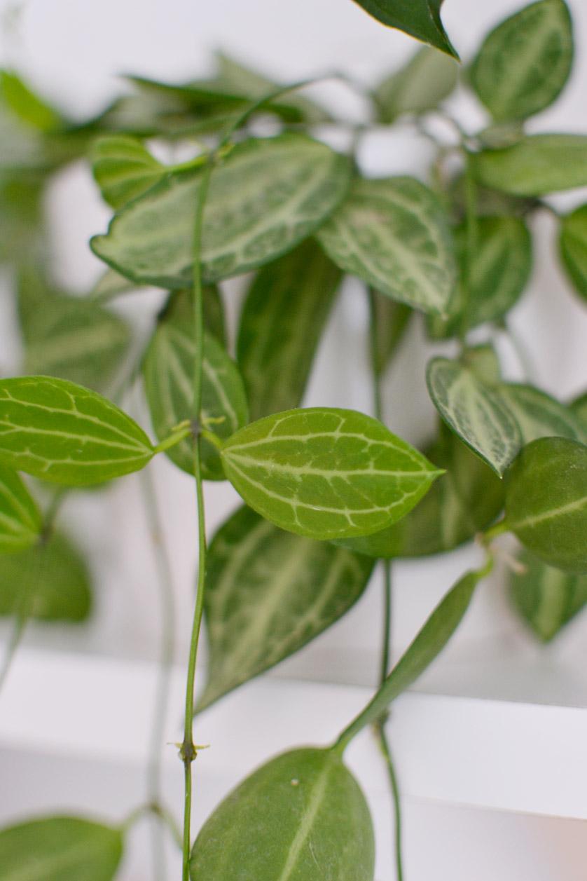 Dischidia ovata to mało wymagająca roślina zwisająca