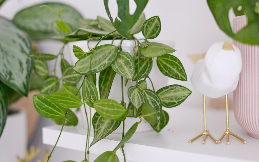 Dischidia ovata ma piękne liście