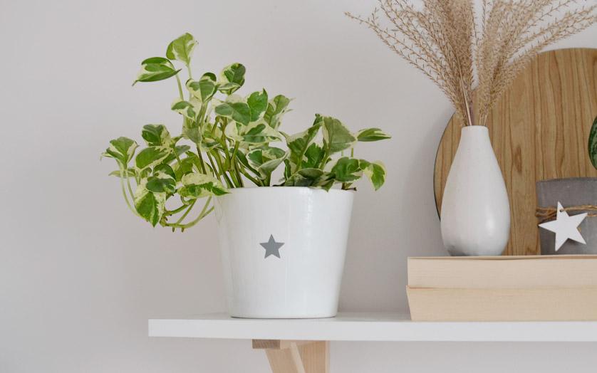 Epipremnum złociste ma piękne biało-zielone liście