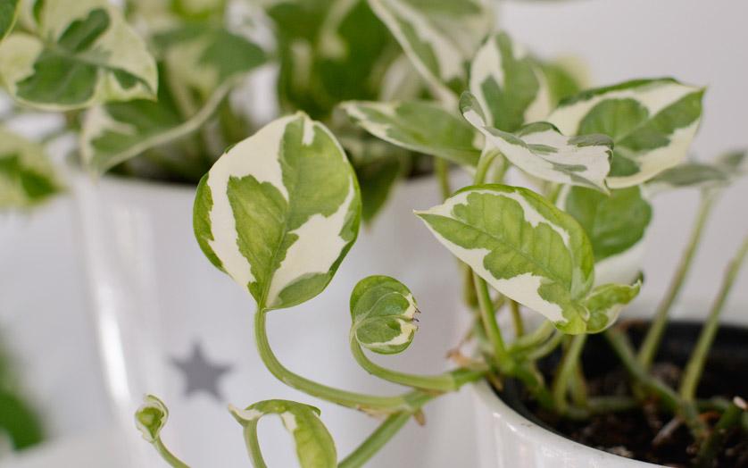 Epipremnum złociste to piękna roślina wisząca