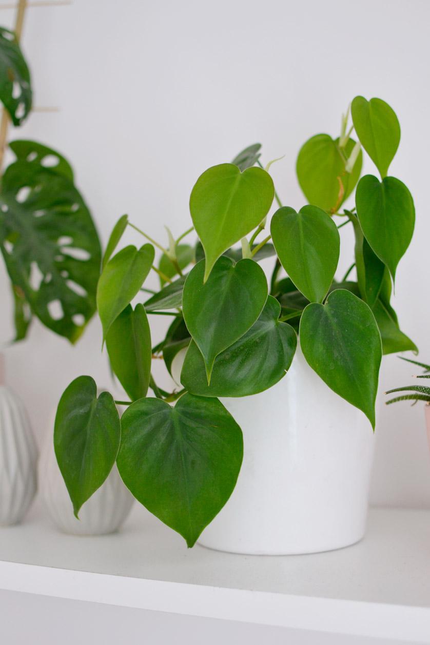 Filodendron pnący to najmniej wymagająca roślina zwisająca