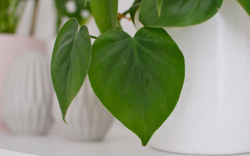 Filodendron pnący lubi podpory i ładnie przewiesza się