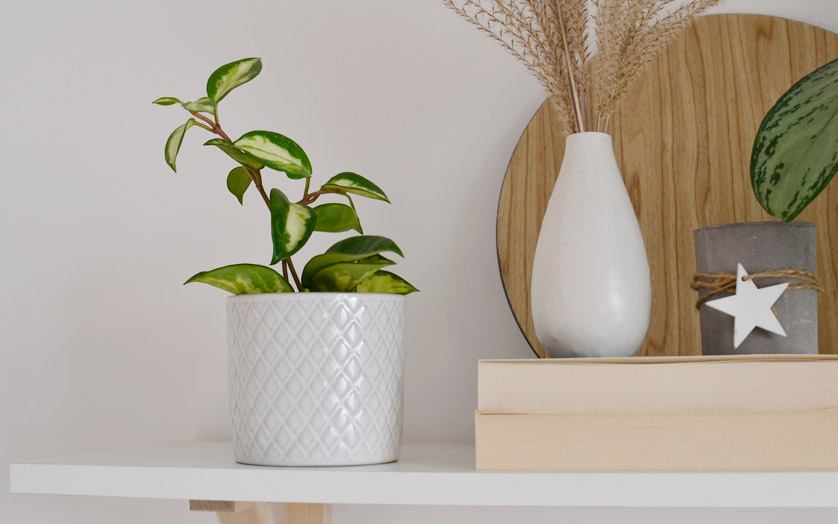 Hoya carnosa rośnie wolno