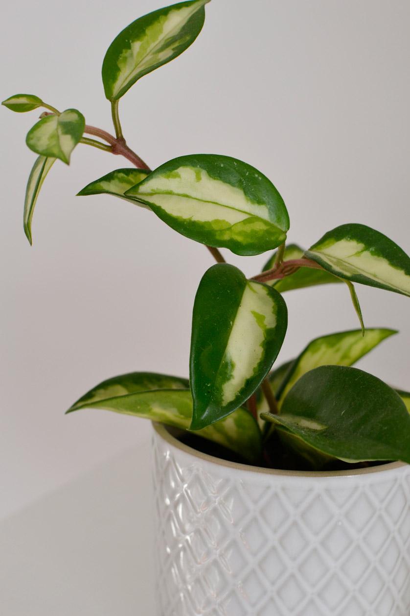 Hoya carnosa uwielbia podpory