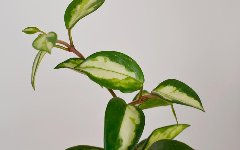 Hoya carnosa jest również rośliną zwisającą