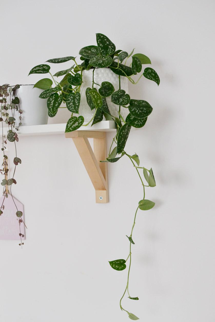 Scindapsus pictus to piękne pnącze o srebrnych liściach