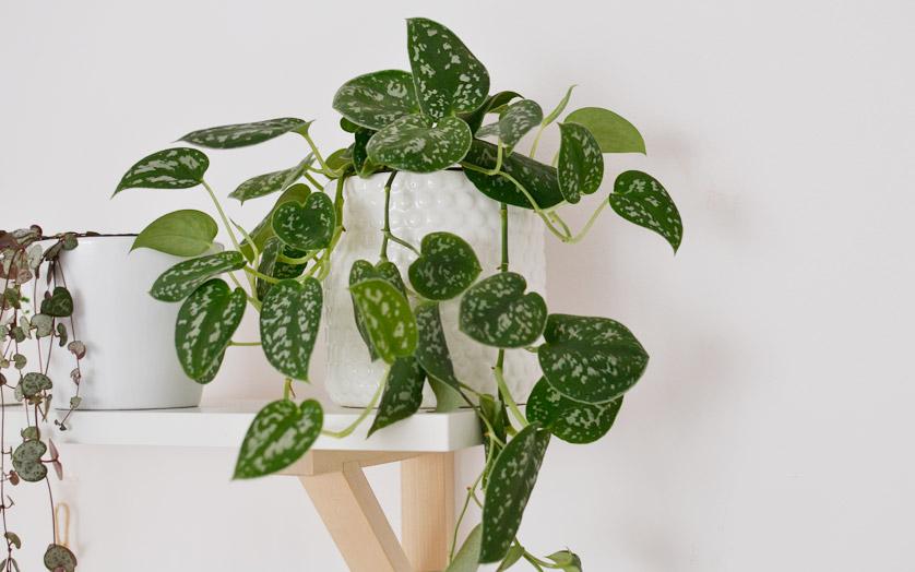 Scindapsus pictus może zwisać lub piąć się po podporze