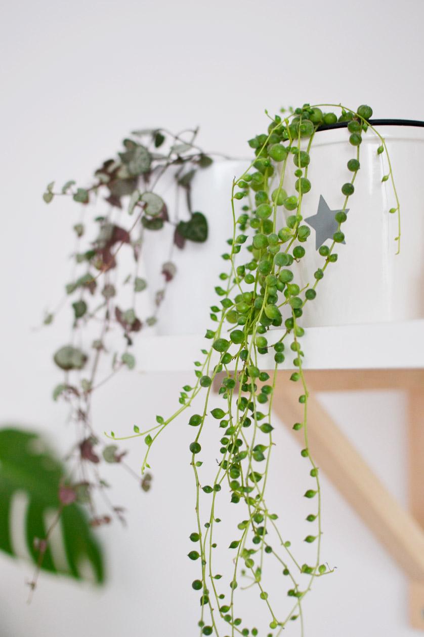 Starzec to piękna zwisająca roślina doniczkowa