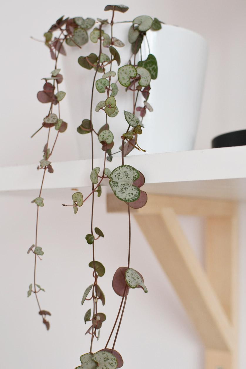 Ceropegia woodii ma liście w kształcie serc