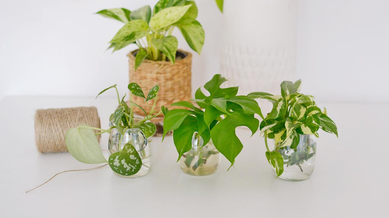 Jak ukorzeniać rośliny w wodzie?